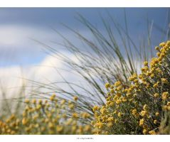 immortelle des dunes by 13-septembre