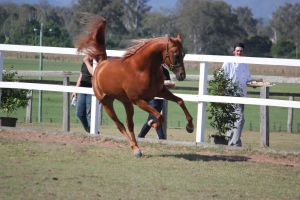 Light Chestnute arab Gallop by xxMysteryStockxx