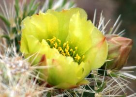 Green Cactus Flower by I-Heart-Photos