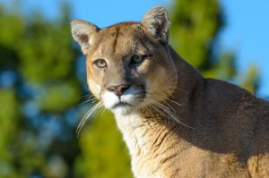 Mountain Lion III by White-Voodoo