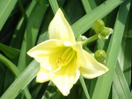 Yellow Lily by The--Enchantress