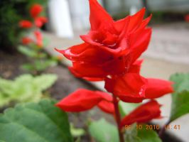 Russia Flower Five by Ciceroplato