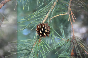 Pinecone 2 by LenSpirations
