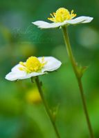 Strawberry flowers by eyedesign