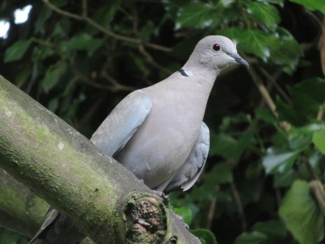 Collared dove by Candyfloss-Unicorn