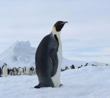 Penguin by laogephoto