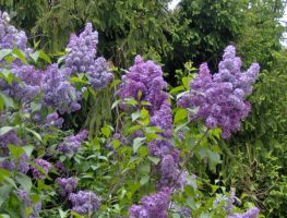 lilac just up the street 2 by crazygardener