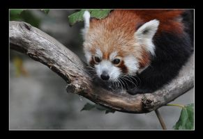 Red Panda (001) - an adorable face by Sikaris