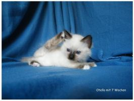 My little Birman Cat by BeXxEntertainment