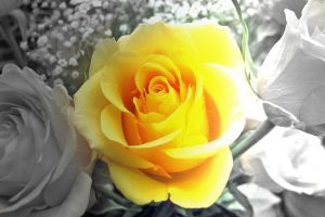 Yellow Rose by Arabiian