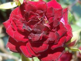Red Rose by NaturalBeauty-Photos
