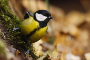 Great Tit by CyprianMielczarek