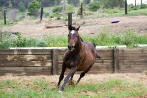 Km Old TB canter front view by Chunga-Stock