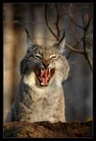 Luchs V by Schoelli