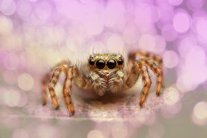 Jumping Spider by evirgen2008