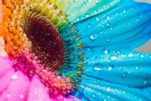 Happy Gerbera Rainbow by RAINBOWedROSES