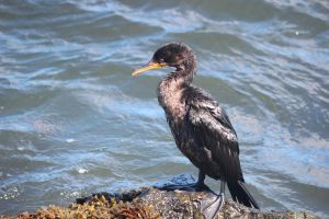 Doubled crested cormorant by Laur720