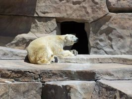 Polar Bear At Zoo by Lady-Knight-Azura
