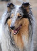 Finnish Collie by Sigitius