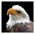 Bald eagle. by Evey-Eyes