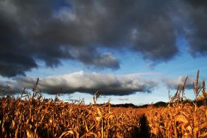 Storm in a cornfield by nectar666