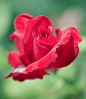 Rose Is Red... by Elena-Jam