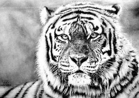 Tiger Drawing by Hannaasfour