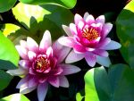 Water Lilies by Ilmare23a