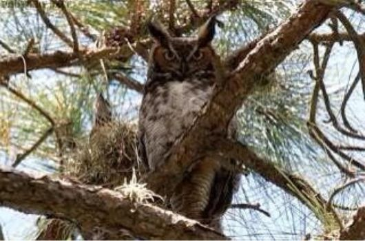 Great Horned Owl by eagleray7