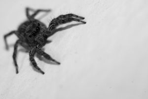 Jumping Spider by esthetic-of-sight