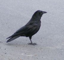 Crow 01 by Limited-Vision-Stock