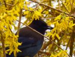 A Hidden Stellar Jay by wolfwings1