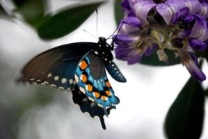 Blue Butterfly by siobhanleigh