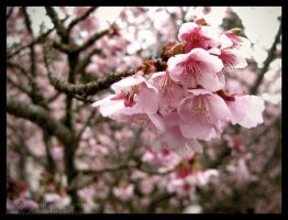 Early Cherry Blossoms by AndrewMarston