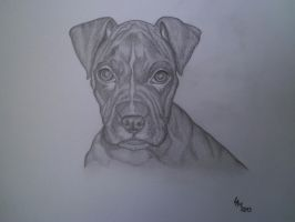 Boxer (pencil drawing) by AlexandraDart