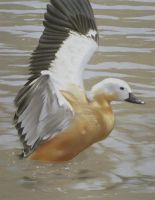 Ruddy Shelduck by Maple--wolf