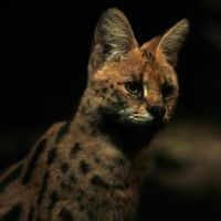 Serval Nocturne by astra888