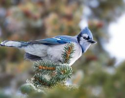 Bluejay - Spruce Perch by JestePhotography