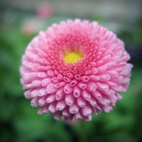 bellis close-up by miss-gardener