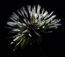 Wet Dandelion Seeds by audiomad