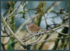 The Dunnock in profile by Taseevo