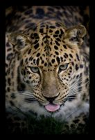 Leopard of amur. by BigCats