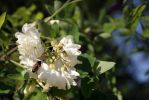 White acacia in bloom stock #4 by croicroga