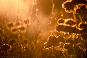 Sunlight through wild buckwheat by isotophoto