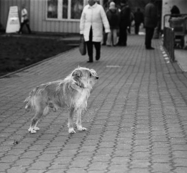 Waiting dog 6 by neck-line