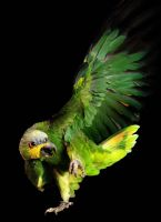 Parrot by Meddling-With-Nature