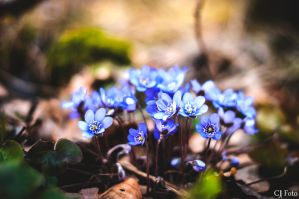 Hepatica by CJacobssonFoto