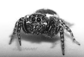 black and white jumping spider by CorazondeDios
