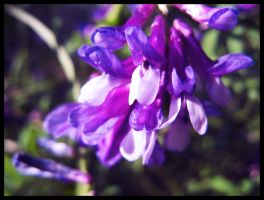 Violet Explosion by OrchidFeehan