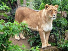 2012 - African lion 34 by Lena-Panthera